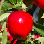 Michigan apples being recalled in eight states for possible Listeria contamination