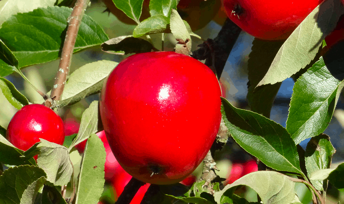 Bay Auto Brokers >> Michigan apples being recalled in eight states for ...